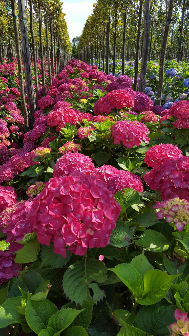 Hydrangea (Hortensia)No ratings yet.