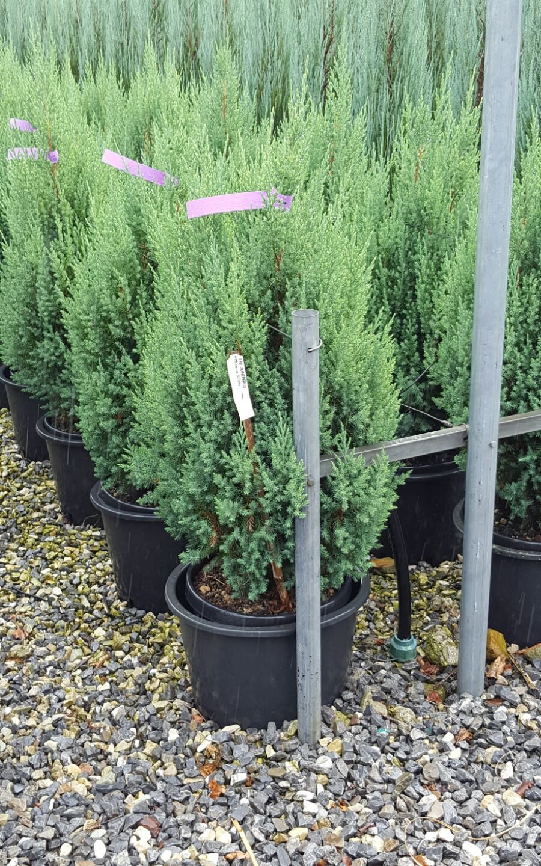 Juniperus StrictaNo ratings yet.