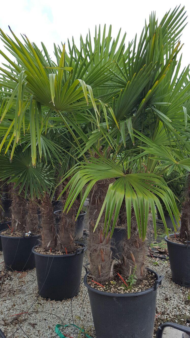 Palmier – Chamaerops excelsa                                        0/5(1)