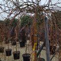 Salix (salcia)