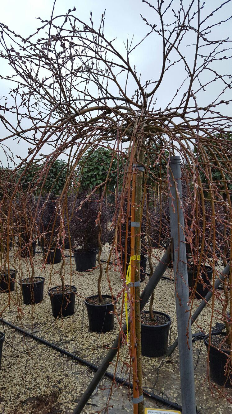Salix (salcia)                                        2/5(2)